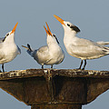 Royal Tern Trio Displaying Dominican by Kevin Schafer