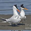 Royal Terns Dancing by Anthony Mercieca