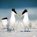 Royal Terns by Paul J. Fusco