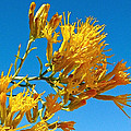 Rubber Rabbitbrush Off Hole-in-the-rock Road In Grand Staircase Escalante National Monument-utah by Ruth Hager