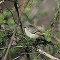 Ruby-crowned Kinglet by Jeff Picoult