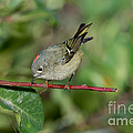 Ruby-crowned Kinglet Showing Crown by Anthony Mercieca