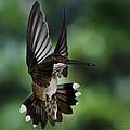Ruby Throat Humming Bird by John Kirwin