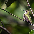 Ruby-throated Hummingbird 3 by Christy Cox