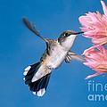Ruby-throated Hummingbird by Anthony Mercieca