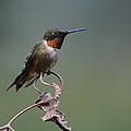 Ruby Throated Hummingbird by Charles Owens