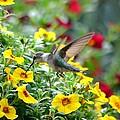 Ruby Throated Hummingbird by Deena Stoddard
