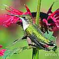 Ruby Throated Hummingbird Female by Rodney Campbell