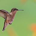 Ruby-throated Hummingbird by Jaron Wood