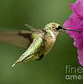 Ruby Throated Hummingbird by Jemmy Archer