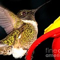 Ruby-throated Hummingbird Landing On Feeder by Rose Santuci-Sofranko