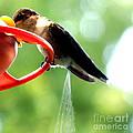 Ruby-throated Hummingbird Pooping by Rose Santuci-Sofranko