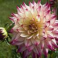 Ruby Tinged Ferndale Blossom by Lorraine Devon Wilke