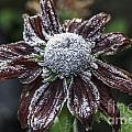 Rudbeckia First Frost by Steve Purnell