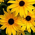 Rudbeckia Flower by FL collection
