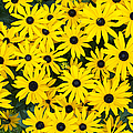 Rudbeckia Fulgida 'pot Of Gold'  by Tim Gainey