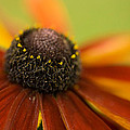 Rudbeckia  by Liz  Alderdice