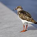 Ruddy Turnstone Bird Arenaria Interpres Florida Usa by Sally Rockefeller
