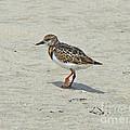 Ruddy Turnstone Wading Bird - Arenaria Interpres by Mother Nature