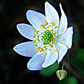 Rue Anemone by William Tanneberger