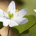 Rue Anemone by Melinda Fawver