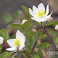 Rue Anemone Wildflower - Pale Pink - Thalictrum Thalictroides by Mother Nature