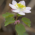 Rue Anemone Wildflower - Pink - Thalictrum Thalictroides by Mother Nature