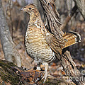 Ruffed Grouse On Mossy Log by Timothy Flanigan