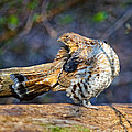 Ruffed Grouse Preening by Timothy Flanigan