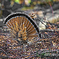 Ruffed Grouse Rear Strut by Timothy Flanigan
