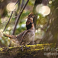 Ruffed Grouse Side Pose by Timothy Flanigan