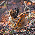 Ruffed Grouse Side Strut by Timothy Flanigan