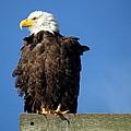 Ruffled Eagle by Rick Lawler