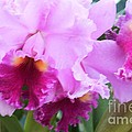 Ruffled Orchids by Kathleen Struckle