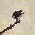 Ruffled Up Osprey by Kim Hojnacki