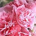 Ruffly Pink Hollyhock by Carol Groenen
