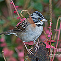 Rufous-collared Sparrow by Anthony Mercieca