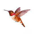 Rufous Hummingbird by Amy Kirkpatrick
