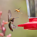 Rufous Hummingbird And Wasp by Lee Kirchhevel