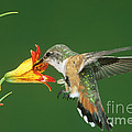 Rufous Hummingbird At Tiger Lily by Anthony Mercieca