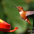 Rufous Hummingbird by Barbara Bowen