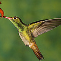 Rufous Hummingbird Feeding by Tom Vezo