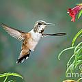 Rufous Hummingbird Female At Monkey by Anthony Mercieca