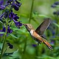 Rufous Hummingbird by Gerald DeBoer