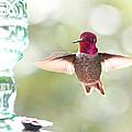 Rufous Hummingbird by Parrish Todd