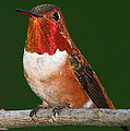 Rufous Hummingbird by Paul DeRocker