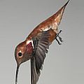 Rufous Hummingbird - Phone Case Design by Gregory Scott
