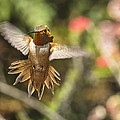 Rufous by Mike Herdering