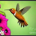 Rufus Hummingbird by John Wills