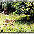 Run Cheetah Run 0 To 60 In 3 Seconds by Walter Herrit